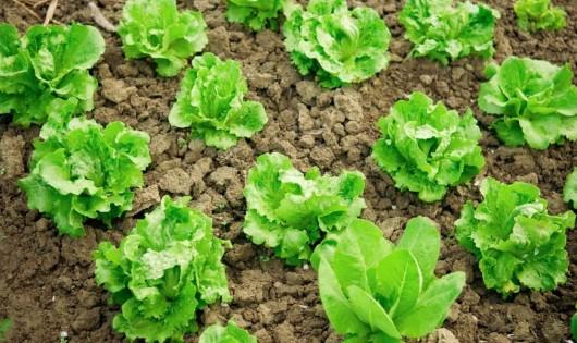 lettuce_1200X797